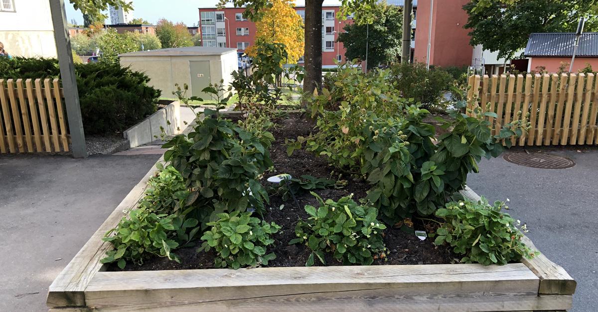 odlingslådor och ätbara växter i planteringarna